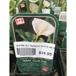 WATER LILY TROPICAL WHITE ARUM