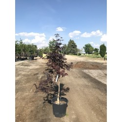 Bloodgood Japanese Maple 150cm