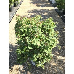 DOUBLE PLAY RED SPIREA 30CM