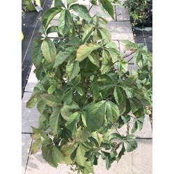 Virginia Creeper 2 Gallon