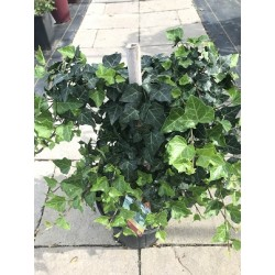 Thorndale Ivy 2 Gallon