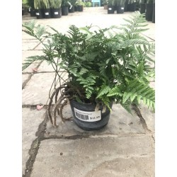 White Rabbit Foot Fern 6""