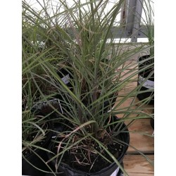 Miscanthus Fire Dragon