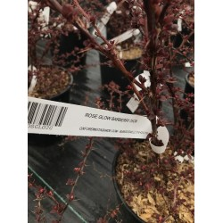 ROSE GLOW BARBERRY 25CM