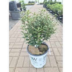 STRONG BOX HOLLY 40CM