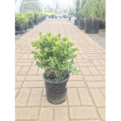 GREEN VELVET BOXWOOD 1 GAL