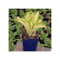 HOSTA KIWI SPEARMINT