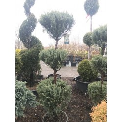 WICHITA BLUE JUNIPER 150 CM...